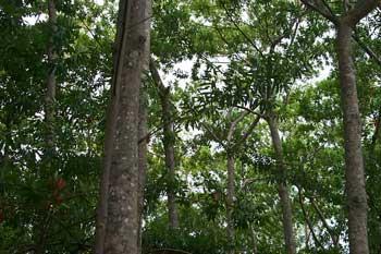 rudraksha forest
